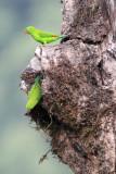 BIRD - PARROT - VERNAL HANGING PARROT - KAENG KRACHAN NP THAILAND (6).JPG