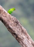 BIRD - PARROT - VERNAL HANGING PARROT - KAENG KRACHAN NP THAILAND (14).JPG