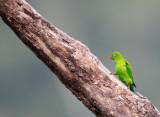 BIRD - PARROT - VERNAL HANGING PARROT - KAENG KRACHAN NP THAILAND (22).JPG