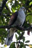 BIRD - PIGEON - MOUNTAIN IMPERIAL PIGEON  - KAENG KRACHAN NP THAILAND (8).JPG
