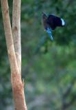 BIRD - ROLLER - INDIAN ROLLER - KURI BURI NATIONAL PARK THAILAND (5).JPG
