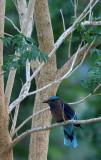 BIRD - ROLLER - INDIAN ROLLER - KURI BURI NATIONAL PARK THAILAND (6).JPG