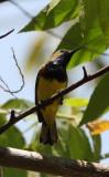 BIRD - SUNBIRD - OLIVE-BACKED SUNBIRD - KAENG KRACHAN NP THAILAND (5).JPG