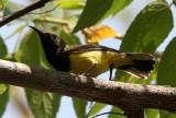 BIRD - SUNBIRD - OLIVE-BACKED SUNBIRD - KAENG KRACHAN NP THAILAND (8).JPG