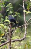 BIRD - THRUSH - BLUE ROCKTHRUSH SPECIES - KAENG KRACHAN NP THAILAND (12).JPG