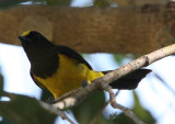 BIRD - TIT - SULTAN TIT - MELANOCHROA SULTANEA - KAENG KRACHAN NP THAILAND (2).JPG