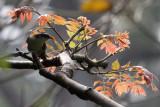 BIRD - WHITE-BROWED SCIMITAR BABBLER - KAENG KRACHAN NP THAILAND (7).JPG