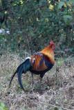 BIRD - WILD COCK - KAENG KRACHAN NP THAILAND (2).JPG