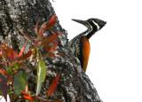 BIRD - WOODPECKER - GREATER FLAMEBACK - FEMALE - KAENG KRACHAN NP THAILAND (8).JPG