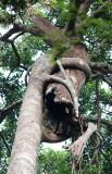 KAENG KRACHAN NATIONAL PARK THAILAND - STRANGLER FIG - FOREST SCENES (31).JPG