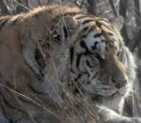 Siberian Tigers of Harbin!