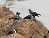 BIRD - CROW - PIED CROW - BANGUI CENTRAL AFRICAN REPUBLIC.JPG