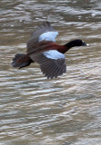 BIRD - DUCK - HARTLAUB'S DUCK - DZANGA BAI - DZANGA NDOKI NP CENTRAL AFRICAN REPUBLIC (1).JPG