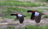 BIRD - DUCK - HARTLAUB'S DUCK - DZANGA BAI - DZANGA NDOKI NP CENTRAL AFRICAN REPUBLIC (10).JPG