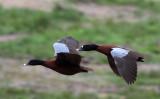 BIRD - DUCK - HARTLAUB'S DUCK - DZANGA BAI - DZANGA NDOKI NP CENTRAL AFRICAN REPUBLIC (11).JPG