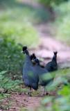 BIRD - GUINEAFOWL - CRESTED GUINEAFOWL - DZANGHA NDOKI NATIONAL PARK - CENTRAL AFRICAN REPUBLIC (1).JPG