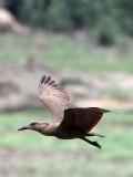 BIRD - HAMMERKOP - DZANGA BAI - DZANGA NDOKI NATIONAL PARK CENTRAL AFRICAN REPUBLIC (1).JPG