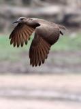 BIRD - HAMMERKOP - DZANGA BAI - DZANGA NDOKI NATIONAL PARK CENTRAL AFRICAN REPUBLIC (2).JPG