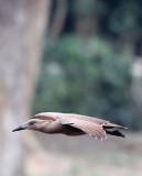 BIRD - HAMMERKOP - DZANGA BAI - DZANGA NDOKI NATIONAL PARK CENTRAL AFRICAN REPUBLIC (4).JPG