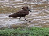 BIRD - HAMMERKOP - DZANGA BAI - DZANGA NDOKI NP CENTRAL AFRICAN REPUBLIC (4).JPG