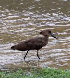 BIRD - HAMMERKOP - DZANGA BAI - DZANGA NDOKI NP CENTRAL AFRICAN REPUBLIC (5).JPG