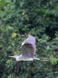 BIRD - HERON - GREY HERON - DZANGA BAI - DZANGA NDOKI NP CENTRAL AFRICAN REPUBLIC (1).JPG