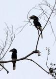 BIRD - HORNBILL - BLACK AND WHITE CASQUED HORNBILL - DZANGA NDOKI NATIONAL PARK CENTRAL AFRICAN REPUBLIC (4).JPG