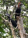 BIRD - HORNBILL - BLACK-CASQUED WATTLED HORNBILL - DZANGA NDOKI NATIONAL PARK CENTRAL AFRICAN REPUBLIC (10).JPG