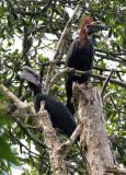 BIRD - HORNBILL - BLACK-CASQUED WATTLED HORNBILL - DZANGA NDOKI NATIONAL PARK CENTRAL AFRICAN REPUBLIC (11).JPG