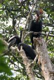 BIRD - HORNBILL - BLACK-CASQUED WATTLED HORNBILL - DZANGA NDOKI NATIONAL PARK CENTRAL AFRICAN REPUBLIC (3).JPG