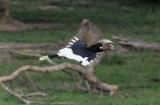 BIRD - HORNBILL - WHITE-THIGHED HORNBILL - DZANGA BAI - DZANGA NDOKI NATIONAL PARK CENTRAL AFRICAN REPUBLIC (16).JPG