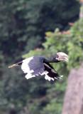 BIRD - HORNBILL - WHITE-THIGHED HORNBILL - DZANGA BAI - DZANGA NDOKI NATIONAL PARK CENTRAL AFRICAN REPUBLIC (4).JPG