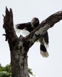 BIRD - HORNBILL - WHITE-THIGHED HORNBILL - DZANGA BAI DZANGA NDOKI NATIONAL PARK CENTRAL AFRICAN REPUBLIC (2).JPG