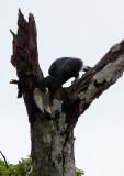 BIRD - HORNBILL - WHITE-THIGHED HORNBILL - DZANGA BAI DZANGA NDOKI NATIONAL PARK CENTRAL AFRICAN REPUBLIC (3).JPG