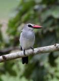 BIRD - KINGFISHER - GREY-HEADED KINGFISHER - DZANGA BAI - DZANGA NDOKI NP CENTRAL AFRICAN REPUBLIC (7).JPG