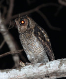 BIRD - OWL - Fraser's Eagle Owl (Bubo poensis),  - DZANGA NDOKI NATIONAL PARK CENTRAL AFRICAN REPUBLIC (3).JPG