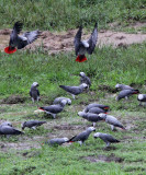 BIRD - PARROT - AFRICAN GREY PARROT - DZANGA BAI - DZANGA NDOKI NP CENTRAL AFRICAN REPUBLIC (10).JPG