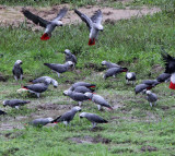 BIRD - PARROT - AFRICAN GREY PARROT - DZANGA BAI - DZANGA NDOKI NP CENTRAL AFRICAN REPUBLIC (11).JPG