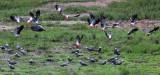 BIRD - PARROT - AFRICAN GREY PARROT - DZANGA BAI - DZANGA NDOKI NP CENTRAL AFRICAN REPUBLIC (20).JPG