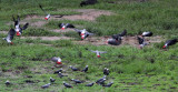 BIRD - PARROT - AFRICAN GREY PARROT - DZANGA BAI - DZANGA NDOKI NP CENTRAL AFRICAN REPUBLIC (21).JPG