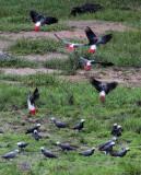 BIRD - PARROT - AFRICAN GREY PARROT - DZANGA BAI - DZANGA NDOKI NP CENTRAL AFRICAN REPUBLIC (22).JPG