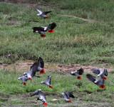 BIRD - PARROT - AFRICAN GREY PARROT - DZANGA BAI - DZANGA NDOKI NP CENTRAL AFRICAN REPUBLIC (37).JPG