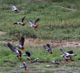 BIRD - PARROT - AFRICAN GREY PARROT - DZANGA BAI - DZANGA NDOKI NP CENTRAL AFRICAN REPUBLIC (38).JPG