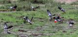 BIRD - PARROT - AFRICAN GREY PARROT - DZANGA BAI - DZANGA NDOKI NP CENTRAL AFRICAN REPUBLIC (44).JPG