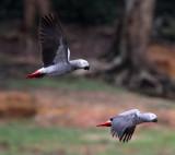 BIRD - PARROT - AFRICAN GREY PARROT - DZANGA BAI - DZANGA NDOKI NP CENTRAL AFRICAN REPUBLIC (47).JPG