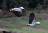 BIRD - PARROT - AFRICAN GREY PARROT - DZANGA BAI - DZANGA NDOKI NP CENTRAL AFRICAN REPUBLIC (48).JPG