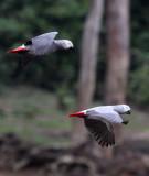 BIRD - PARROT - AFRICAN GREY PARROT - DZANGA BAI - DZANGA NDOKI NP CENTRAL AFRICAN REPUBLIC (49).JPG