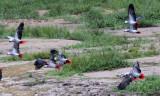 BIRD - PARROT - AFRICAN GREY PARROT - DZANGA BAI - DZANGA NDOKI NP CENTRAL AFRICAN REPUBLIC (8).JPG