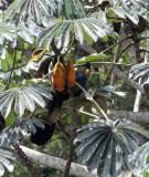 BIRD - TURACO - GREAT BLUE TURACO - DZANGA NDOKI NATIONAL PARK CENTRAL AFRICAN REPUBLIC (5).JPG