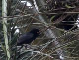 BIRD - WEAVER - VIEILLOT'S BLACK WEAVER - BAYANGA VILLAGE -  DZANGA NDOKI NATIONAL PARK CENTRAL AFRICAN REPUBLIC (5).JPG
